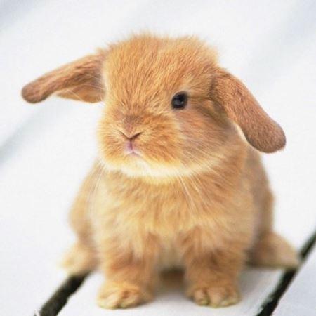Obrázek pro kategorii králíci