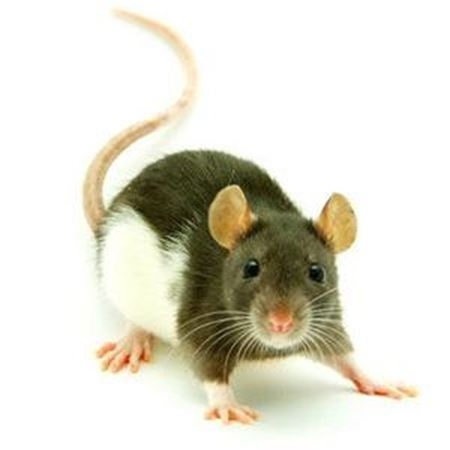Obrázek pro kategorii potkani