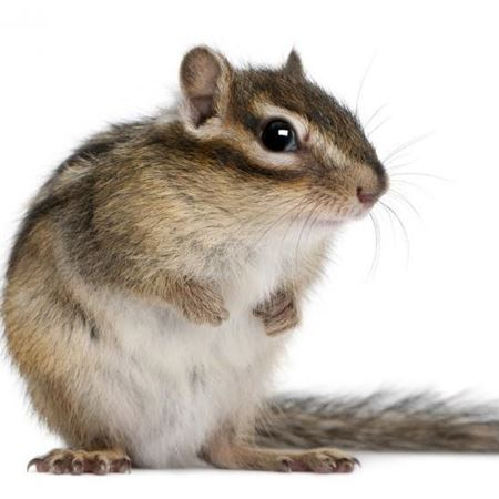 Obrázek pro kategorii zemní veverky